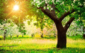 Nature___Seasons___Spring_Apple_blossoms_in_spring_065879_18