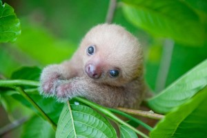 cute-baby-sloth-institute17-681x454