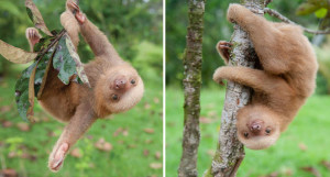 cute-baby-sloth-institute4