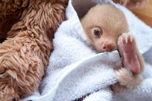 cute-baby-sloth-institute6