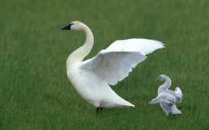Animals_Birds_White_Swan_and_duck_031968_
