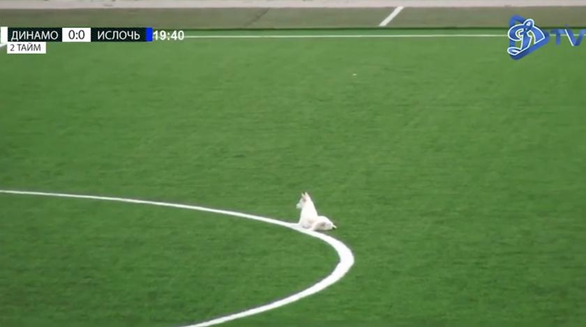Динамо - Ислочь. Собака на футбольном поле
